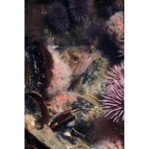 Juvenile Rock Fish Hides Among Club Anemone, Platform Hilda 60'