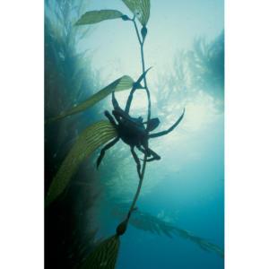 Kelp Crab, Santa Cruz Island